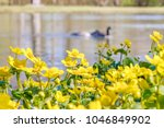 blooming caltha palustris ... | Shutterstock . vector #1046849902