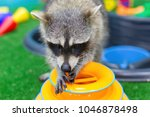 funny and furry raccoon closeup   Shutterstock . vector #1046878498