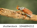 cockchafer or may bug ... | Shutterstock . vector #1046894212