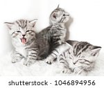 Stock photo funny cute kittens the kitten sleeps yawns sits lies 1046894956