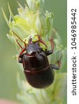 Small photo of Beetle of Zabrus tenebrioides eating eating a unripe wheat kernel, a species of black ground beetle (Carabidae). It is a pest of cereals.