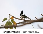 oriental magpie robin black and ... | Shutterstock . vector #1047006562