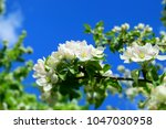 apple blossom bransh and bright ... | Shutterstock . vector #1047030958