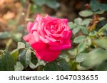 roses in the garden  roses are... | Shutterstock . vector #1047033655