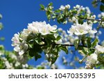 blossom apple bransh on blue... | Shutterstock . vector #1047035395