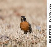 Small photo of An American Robin keeping a lookout in Lady Bird Johnson Park in Washington, DC.