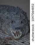 Small photo of A large adult american crocodile resting with mouth agape in southern Florida.