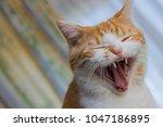 Yawning Brown White Cat