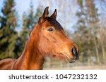 portrait of a brown mare in...   Shutterstock . vector #1047232132