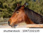 portrait of a brown mare in...   Shutterstock . vector #1047232135