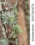 Small photo of Usnea (a genus of mostly pale grayish-green fruticose lichens that grow like leafless mini-shrubs or tassels anchored)
