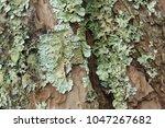 Foliose Lichen  One Of A...