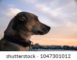 beautiful brown colored dog on... | Shutterstock . vector #1047301012