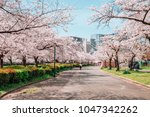 cherry blossoms road in kema... | Shutterstock . vector #1047342262