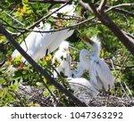 mother egret tending to her...   Shutterstock . vector #1047363292