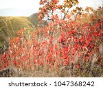 bright and saturated fall red... | Shutterstock . vector #1047368242
