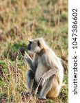 gray langur also known as... | Shutterstock . vector #1047386602