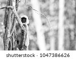 gray langur also known as... | Shutterstock . vector #1047386626