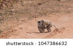 gray langur also known as... | Shutterstock . vector #1047386632