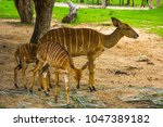 family of deer in khao kheow... | Shutterstock . vector #1047389182