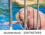 Walrus Behind Bars In The Zoo...