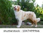 australian shepherd dog... | Shutterstock . vector #1047499966