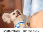 lovely dog with owner | Shutterstock . vector #1047514612