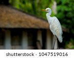 the cattle egret is a...   Shutterstock . vector #1047519016
