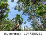tropical hardwood hammock at...   Shutterstock . vector #1047550282