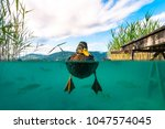 A Underwater Picture Of A Duck...