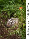Small photo of North American Badger (Taxidea taxus) Tongue Out - captive animal