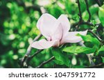 blossoming of magnolia white... | Shutterstock . vector #1047591772