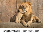 Stock photo this proud male aftican lion is cuddled by his cub during an affectionate moment 1047598105