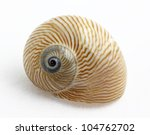 Lined Moon Snail  Natica...