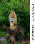a siberian tiger standing on... | Shutterstock . vector #1047640615
