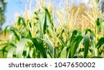 organic cornfield in farmland...