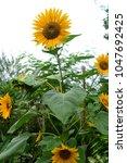 sun flower in garden | Shutterstock . vector #1047692425