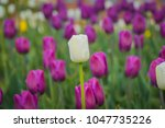 bright tulips blooming  spring... | Shutterstock . vector #1047735226