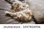 a beautiful tricolor cat... | Shutterstock . vector #1047826936