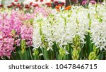 white and pink hyacinth flower...   Shutterstock . vector #1047846715