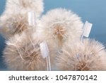 Small photo of Soft toothbrushes and dandelions on blue background. Softness concept.