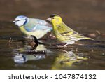 eurasian siskin  spinus spinus  ... | Shutterstock . vector #1047874132