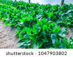 growing plants of spinach... | Shutterstock . vector #1047903802