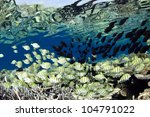 Small photo of Convict surgeon fish Acanthurus triostegus shoal in blue lagoon of Ari atoll - Maldives