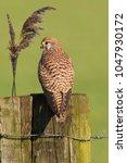 common kestrel  falco...   Shutterstock . vector #1047930172