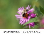 Bumble Bee On An Aster Flower...