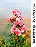 Stock photo damask rose petals for rose tea on white background rosa damascena mill 1047966742