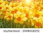 bright vivid yellow daffodils... | Shutterstock . vector #1048018252