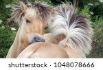 Small photo of Two Haflinger Horses who lovingly nip each other, grooming