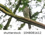 close up of a female goshawk ... | Shutterstock . vector #1048081612
